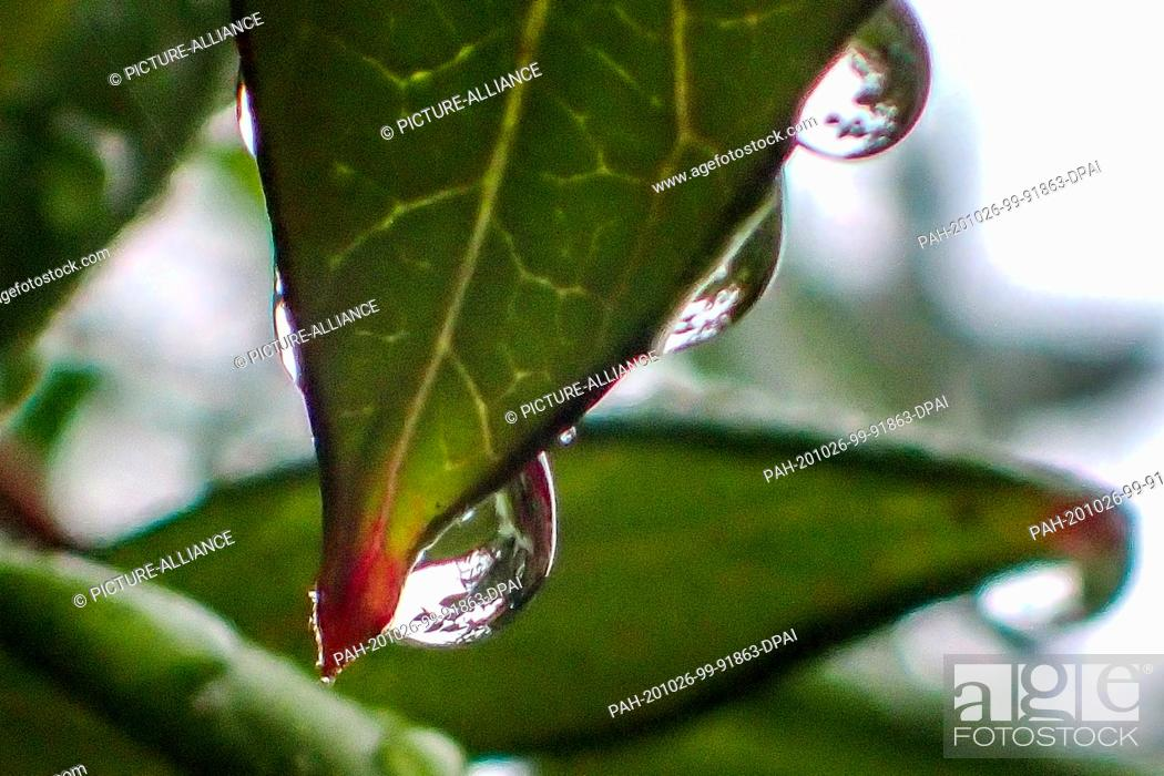 Stock Photo: 26 October 2020, Lower Saxony, Brunswick: Raindrops are hanging from a leaf. Photo: Stefan Jaitner/dpa. - Brunswick/Lower Saxony/Germany.