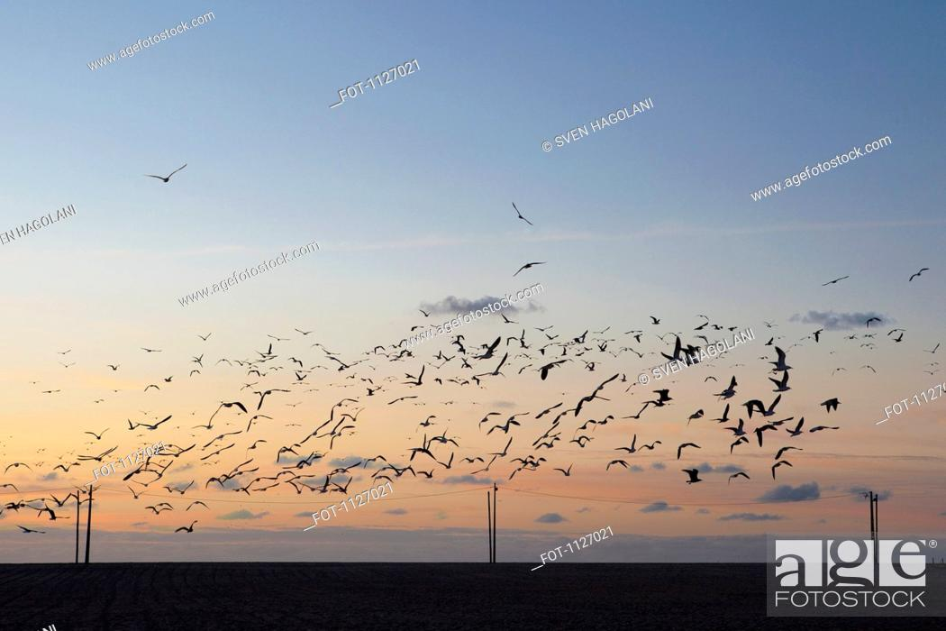 Stock Photo: Flock of seagulls in the sky at dusk.