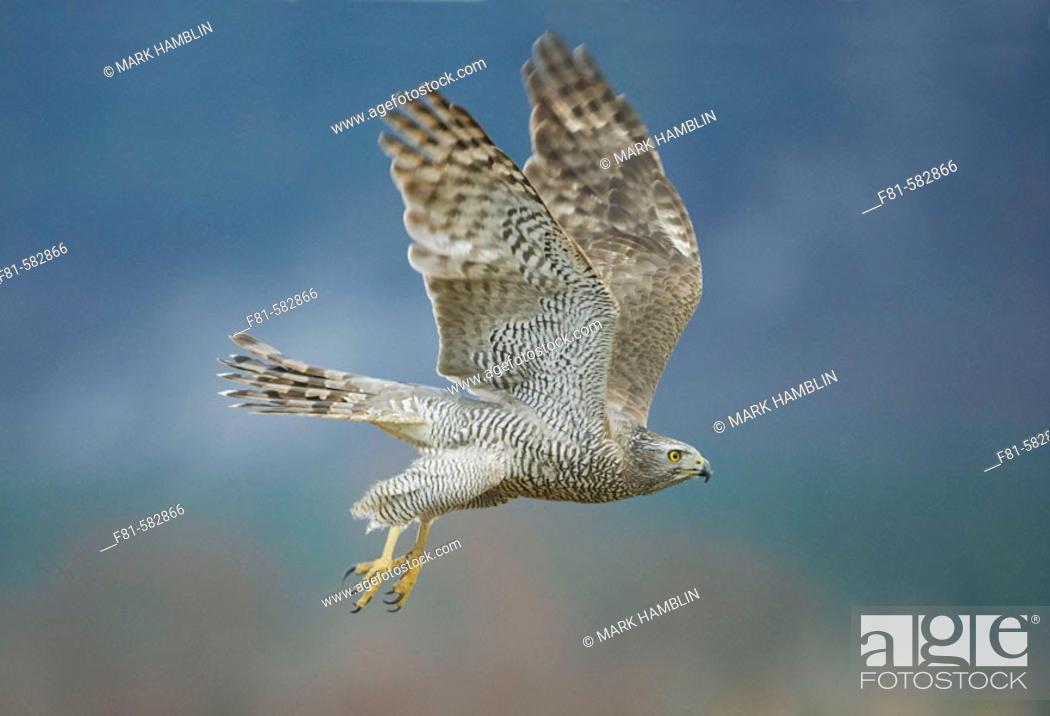 Stock Photo: Goshawk (Accipiter gentilis) adult in flight. captive-bred. Scotland. March 2006.