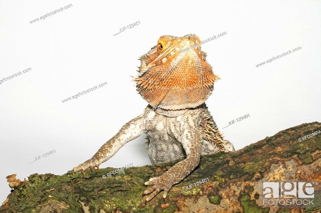Stock Photo: bearded dragon / Pogona spp.