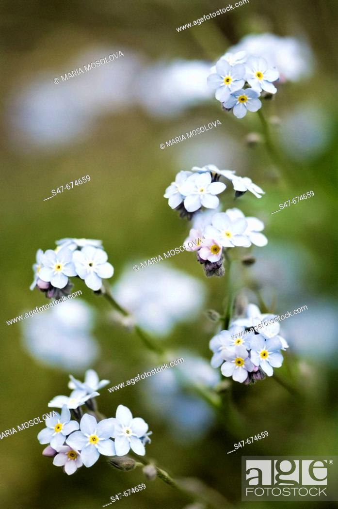 Stock Photo: Forget Me Not Flowers. Myosotis sylvatica. April 2007, Maryland, USA.