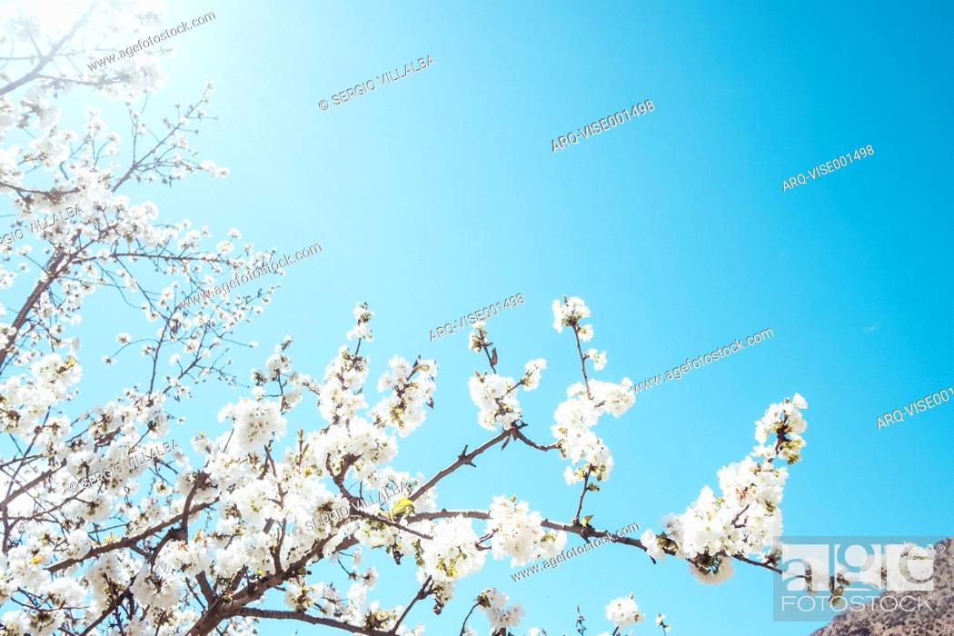 Imagen: Low angle view of almond tree branch in full bloom in Morocco.