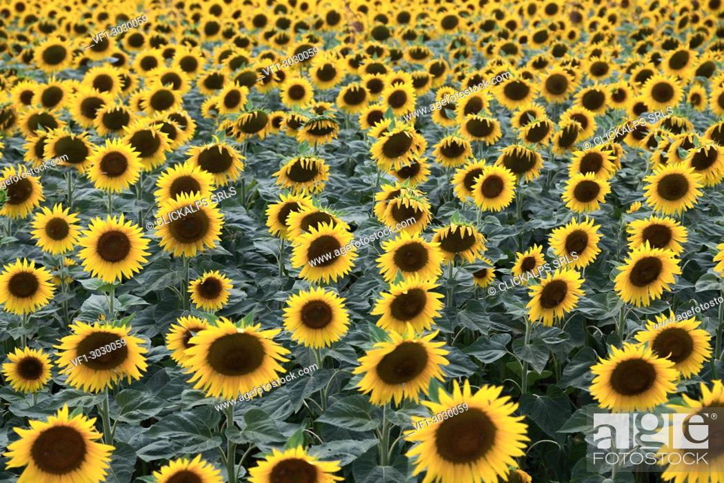 Stock Photo: A field of sunflower in bloom, Piacenza, Emilia Romagna.