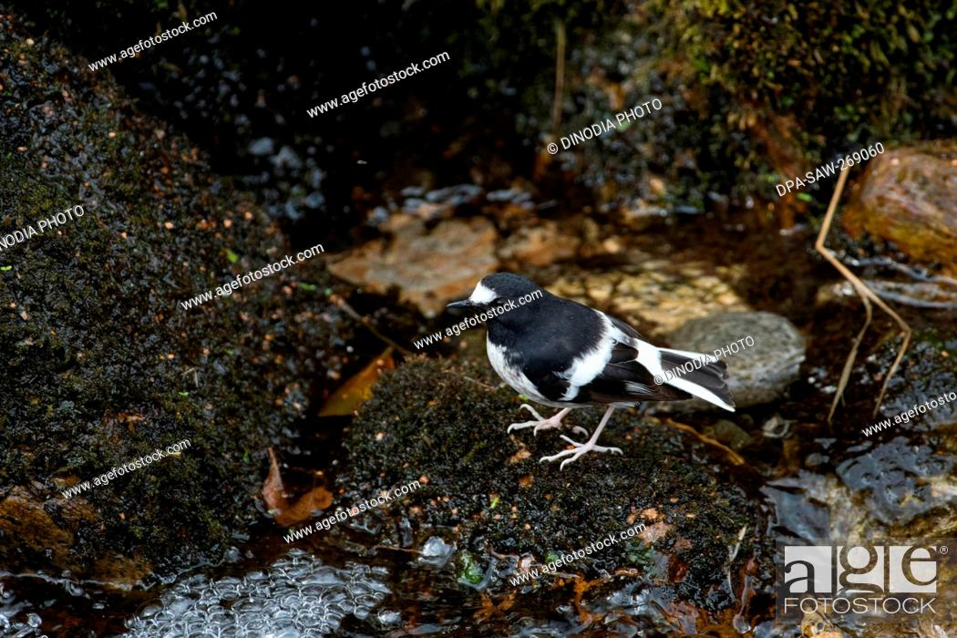 Imagen: Little Fork tail bird near water, Kedarnath Wildlife Sanctuary, Uttarakhand, India, Asia.