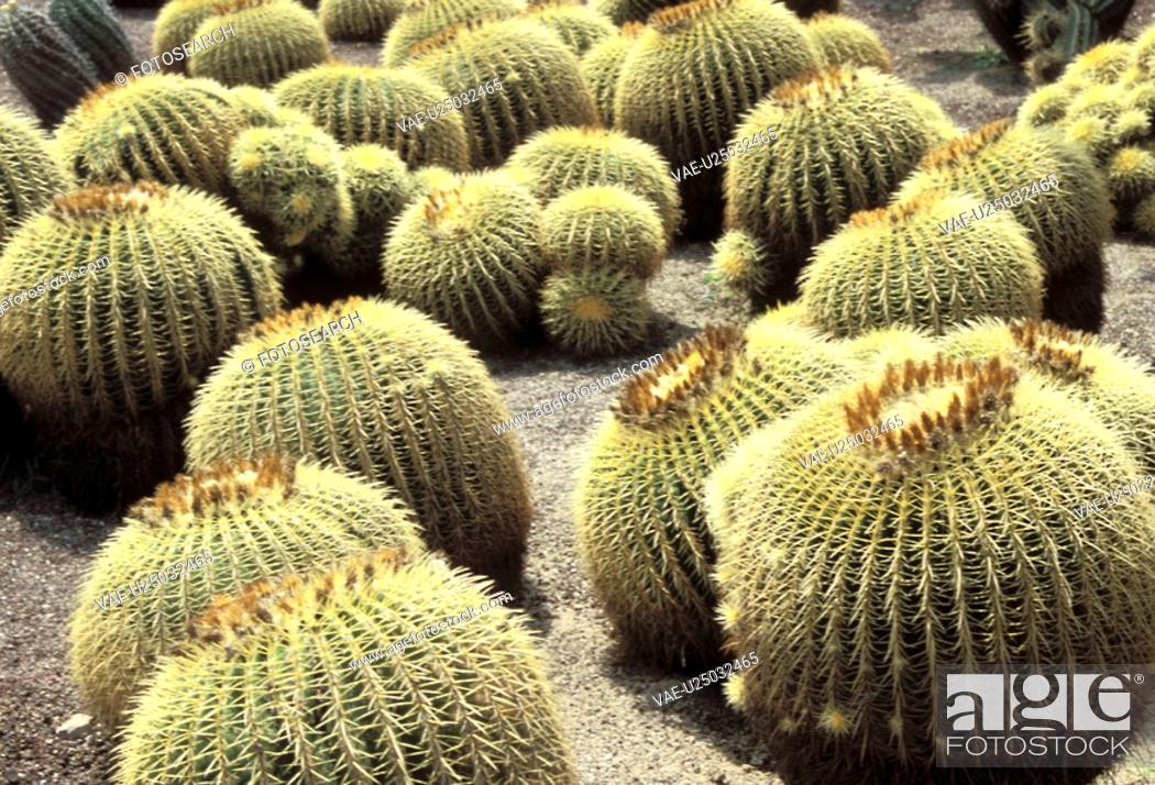 Stock Photo: spitze, ball, balls, Bernhard, cactaceae, cacti.
