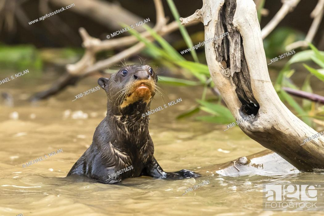 Stock Photo: Juvenile giant river otter, Pteronura brasiliensis, near Puerto Jofre, Mato Grosso, Pantanal, Brazil.