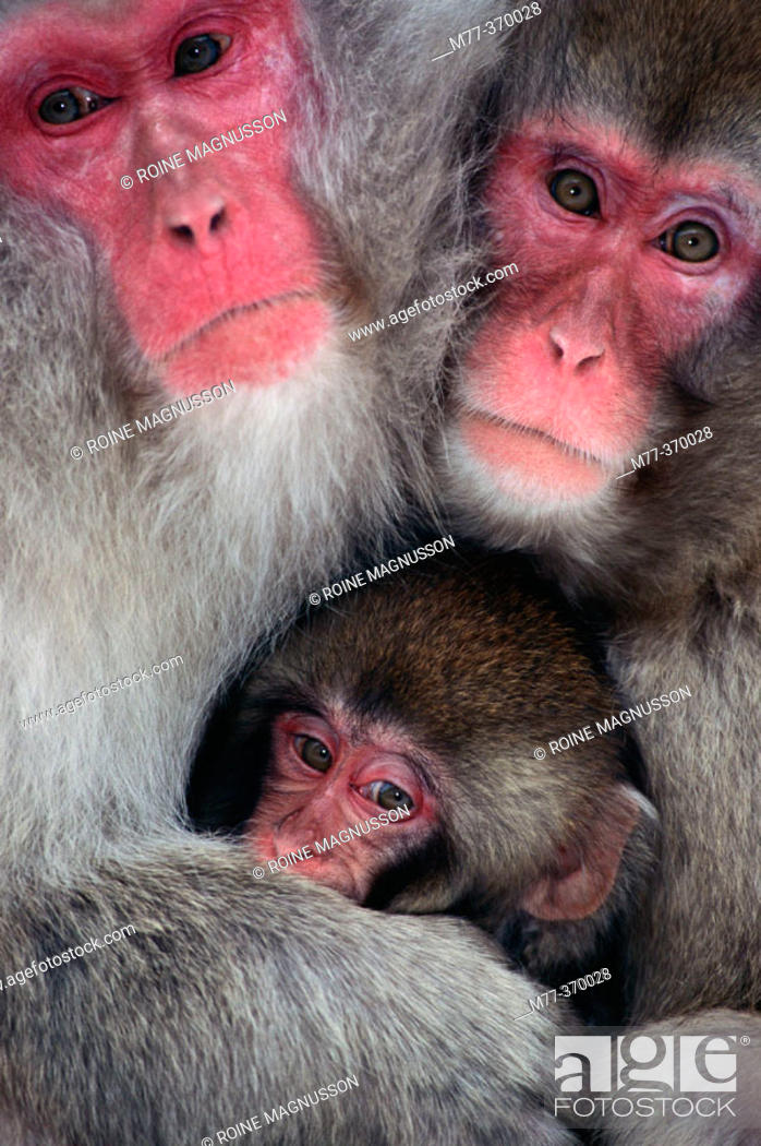 Stock Photo: Japanese Macaque family (Macaca fuscata). Jigokudani, Honshu. Japan.