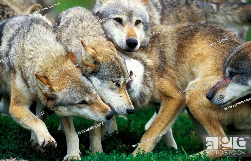 Stock Photo: EUROPEAN WOLF canis lupus, GROUP SHOWING DOMINANCE AND SUBMISSION.
