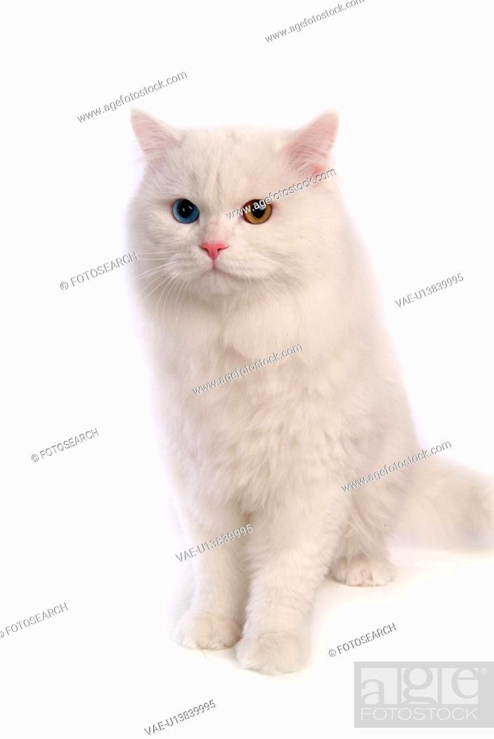 Stock Photo: close up, domestic animal, sitting, domestic cat, feline, turkish angora.