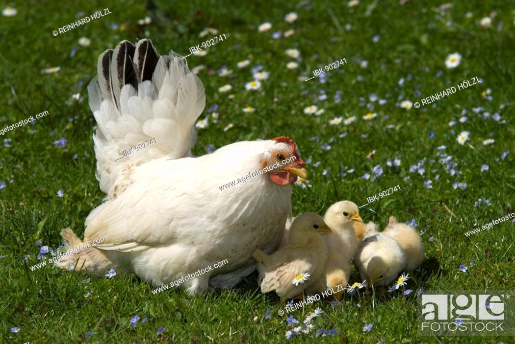 Stock Photo: Japanese Bantam or Chabo hen with chicks, Schwaz, Tyrol, Austria, Europe.
