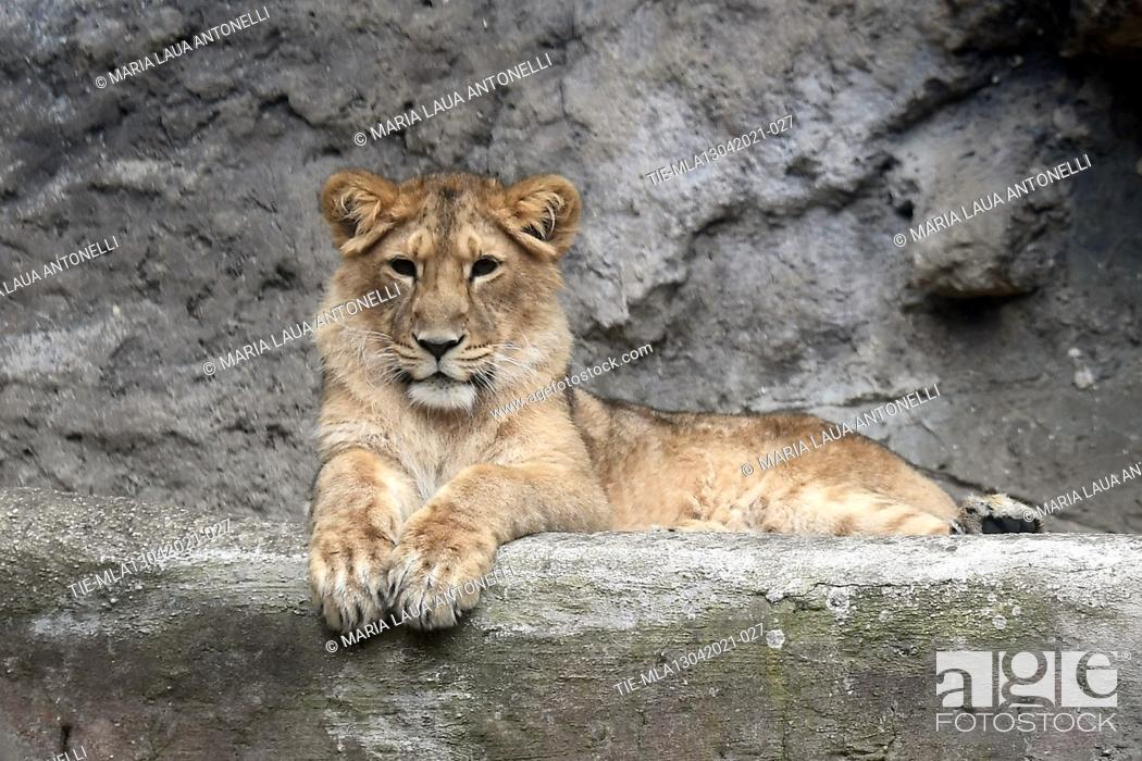 Stock Photo: Naisha the Asian lion cub born last spring in the Bioparco of Rome , ITALY-13-04-2021.