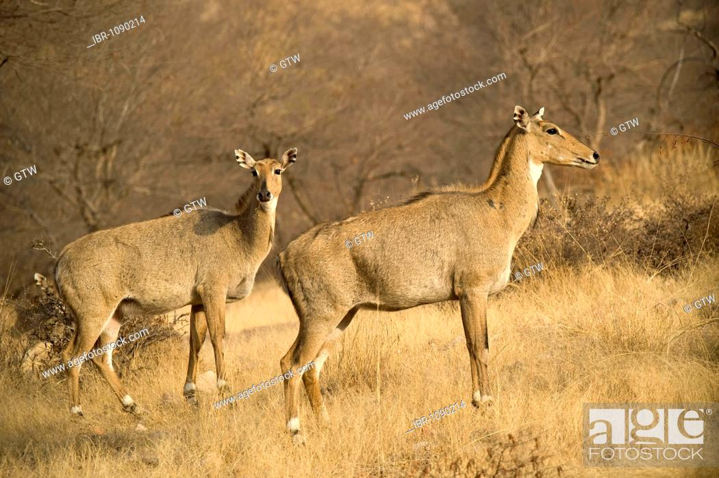 Stock Photo: Sambar Deer (Rusa unicolor or Cervus unicolor), Ranthambore National Park, Rajasthan, India.