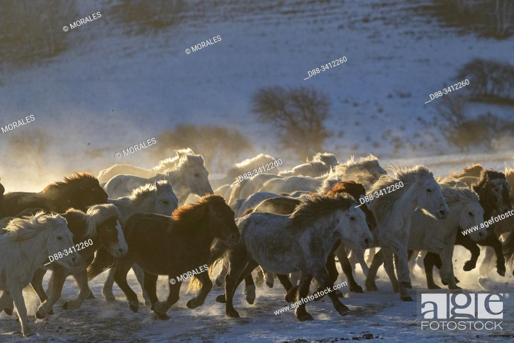 Imagen: China, Inner Mongolia, Hebei Province, Zhangjiakou, Bashang Grassland, horses in a meadow covered by snow.