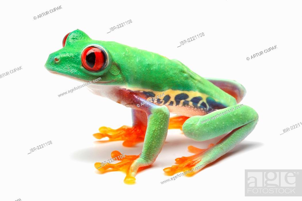Stock Photo: Red-eyed Tree Frog (Agalychnis callidryas).