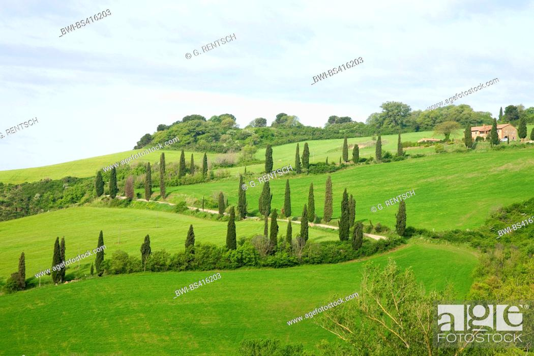 Stock Photo: Italian cypress (Cupressus sempervirens), cypress alley near La Foce, Italy, Tuscany.