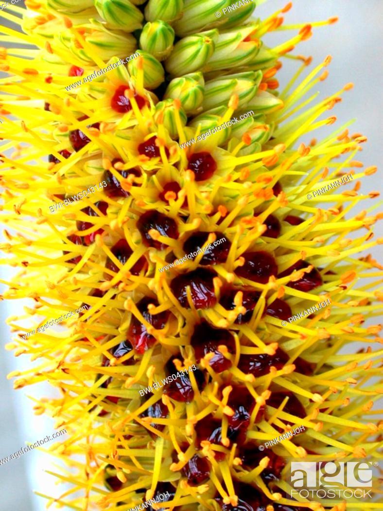 Stock Photo: Aloe Aloe spicata, Aloe sessiliflora, Aloe tauri, flowers with nectar.
