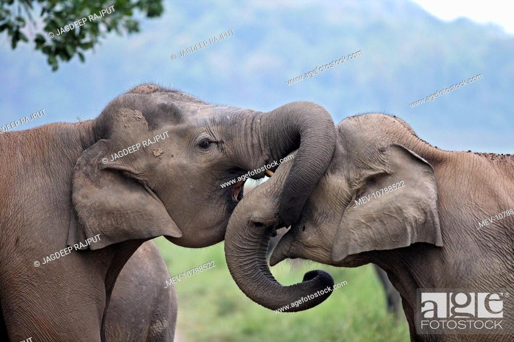Stock Photo: Indian / Asian Elephant - two sparring. (Elephas maximus).
