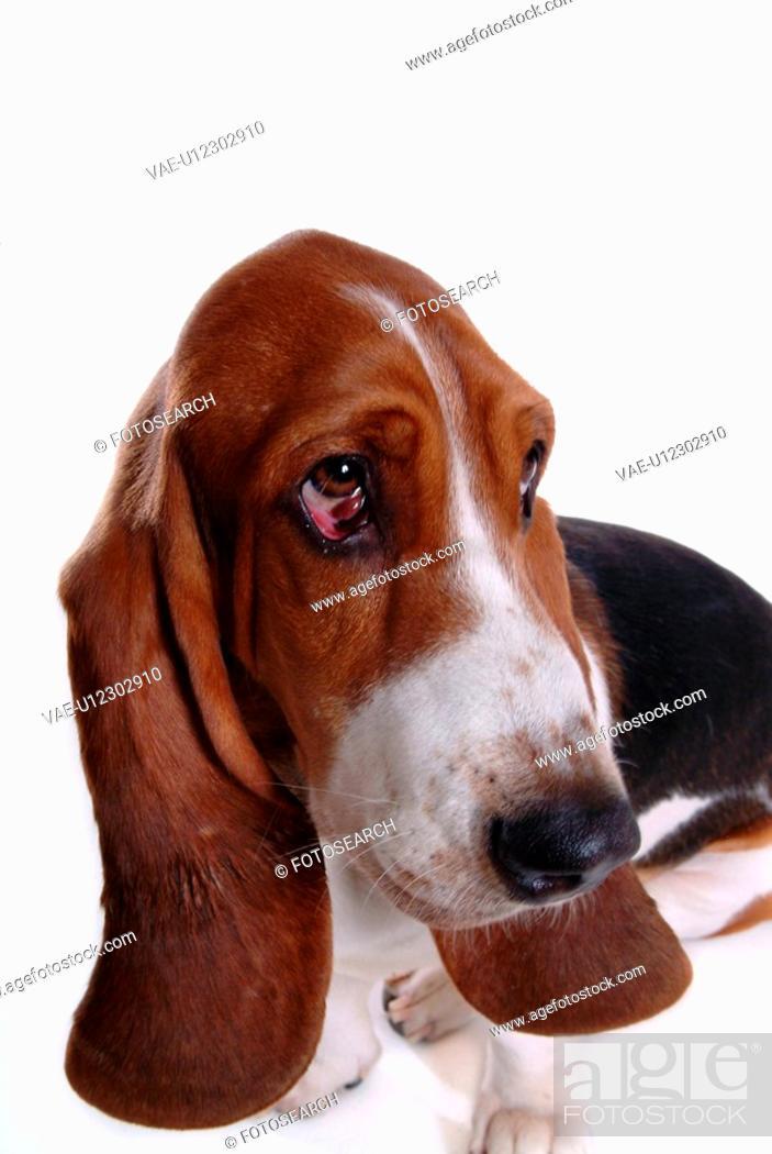 Stock Photo: canine, dog, close up, domestic animal, pet, companion, basset hound.