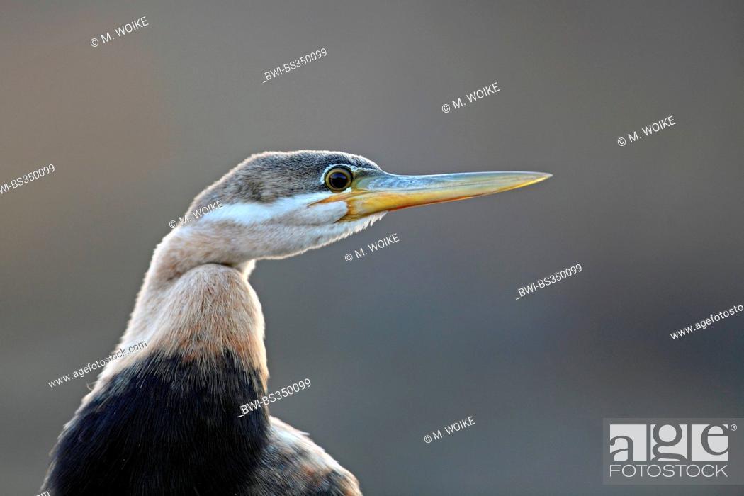 Stock Photo: African darter (Anhinga rufa), head portrait, juvenile plumage, South Africa, Pilanesberg National Park.