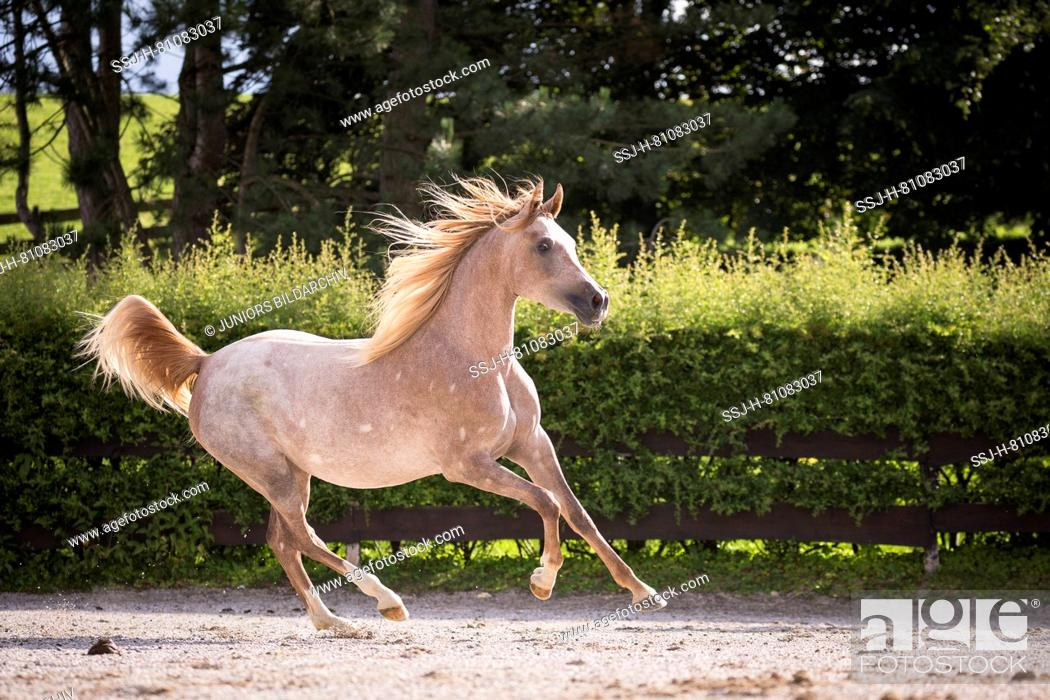 Arabian Horse Juvenile Red Roan Mare Galloping In A Paddock Austria Stock Photo Picture And Rights Managed Image Pic Ssj H 81083037 Agefotostock
