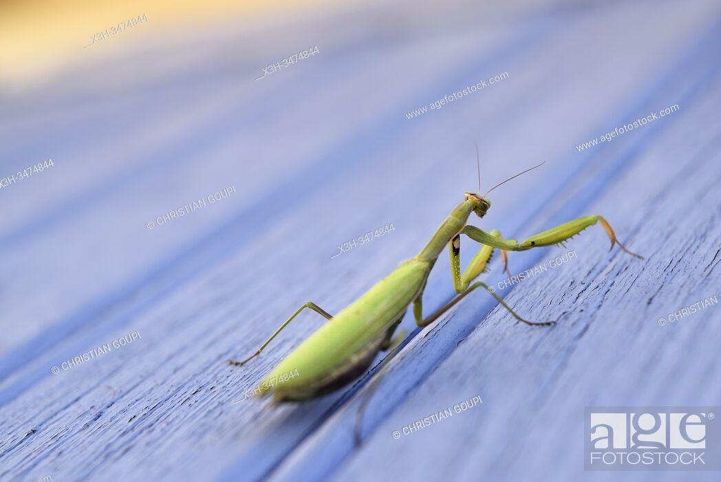 Stock Photo: praying mantis (Mantis religiosa) on a blue background, France, Europe.