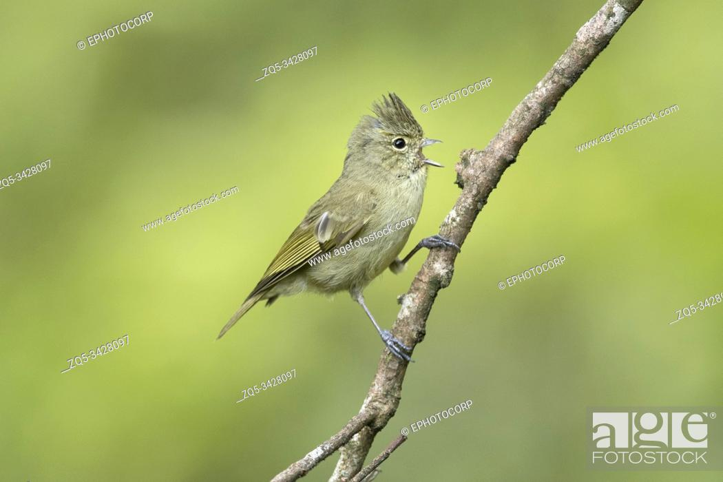 Imagen: Yellow-browed tit, Sylviparus modestus, Mishmi Hills, Arunachal Pradesh, India.