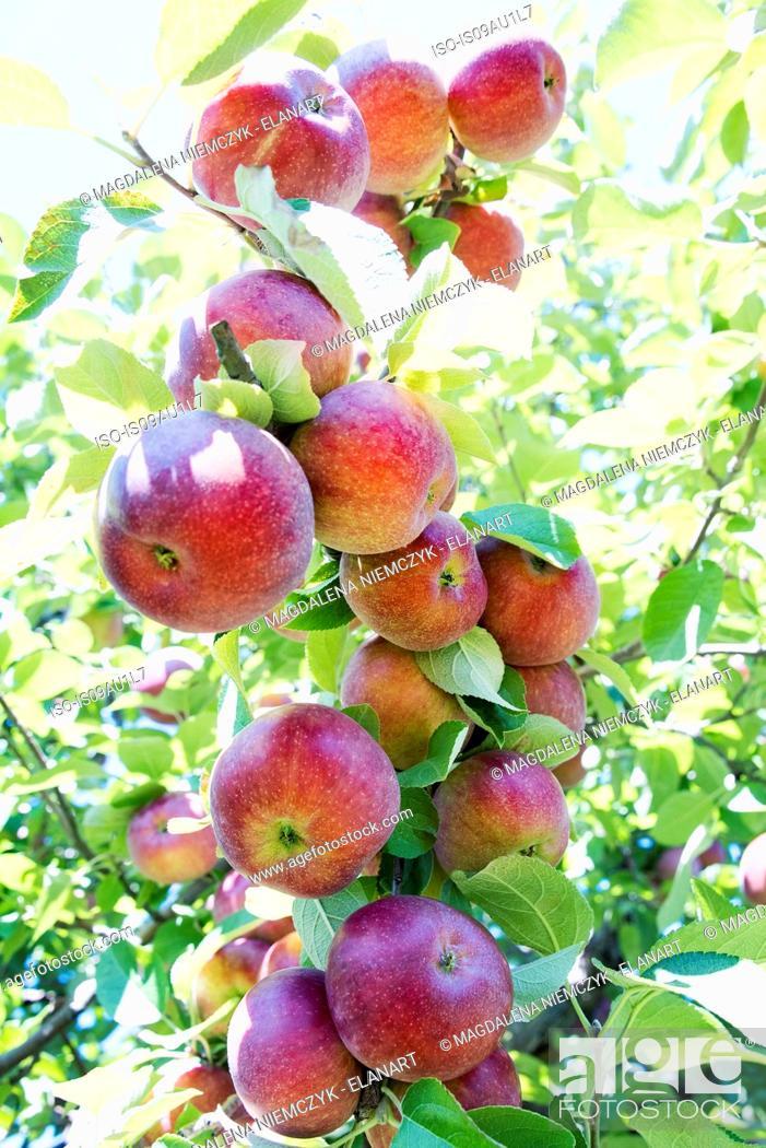 Stock Photo: Ripe apples on tree.