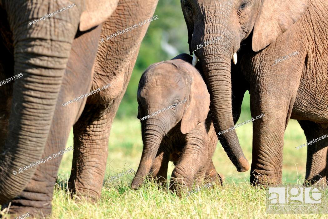 Stock Photo: African elephants, mother, baby and calf, Addo Elephant National Park, Eastern Cape, South Africa.