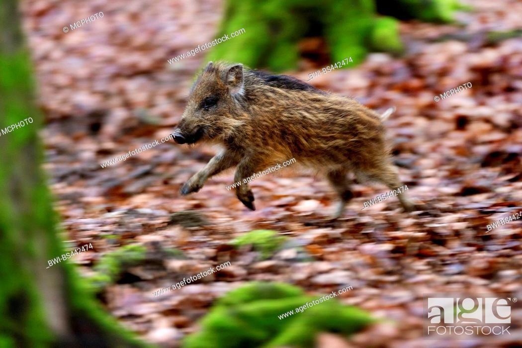 wild boar, pig, wild boar (Sus scrofa), piglet fleeing in a