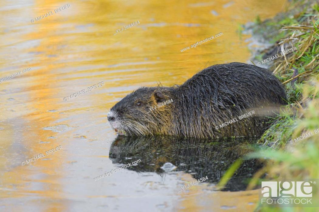 Stock Photo: Coypu in pond, Germany, Europe.