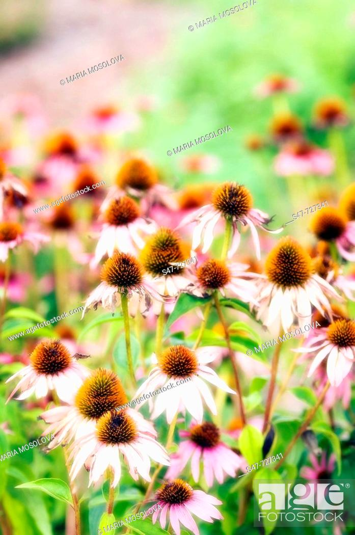 Stock Photo: Pink Coneflowers. Echinacea hybrid. July 2007, Maryland, USA.