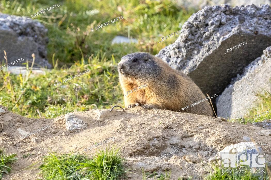 Stock Photo: Alpine Marmot (Marmota marmota), adult at the entrance of its lair, Lombardia, Italy.
