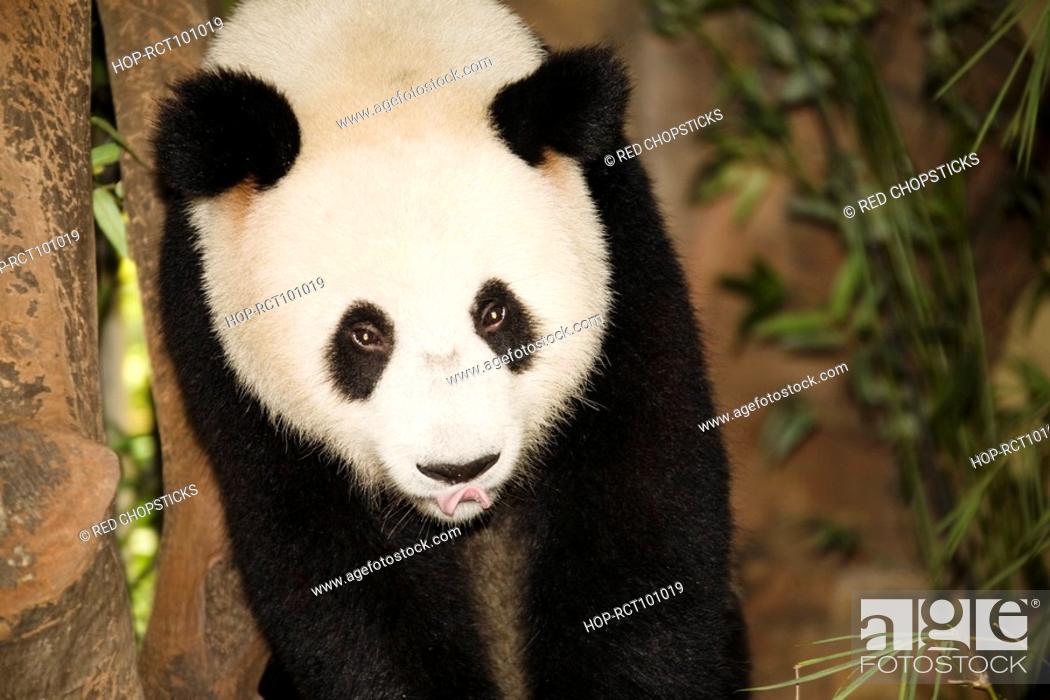 Stock Photo: High angle view of a panda, Xiangjiang Safari Park, Guangzhou, Guangdong Province, China.