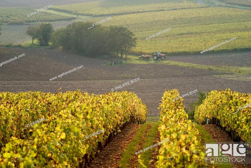 Stock Photo: Vineyard, Maine et Loire, France.