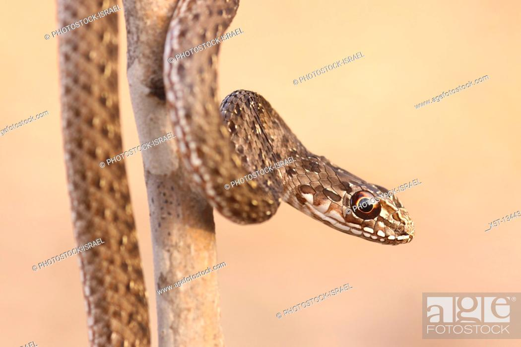 Stock Photo: juvenile Montpellier snake Malpolon monspessulanus is very common throughout the Mediterranean basin  It can reach up to 2 00 metres long and may weigh up to 1.