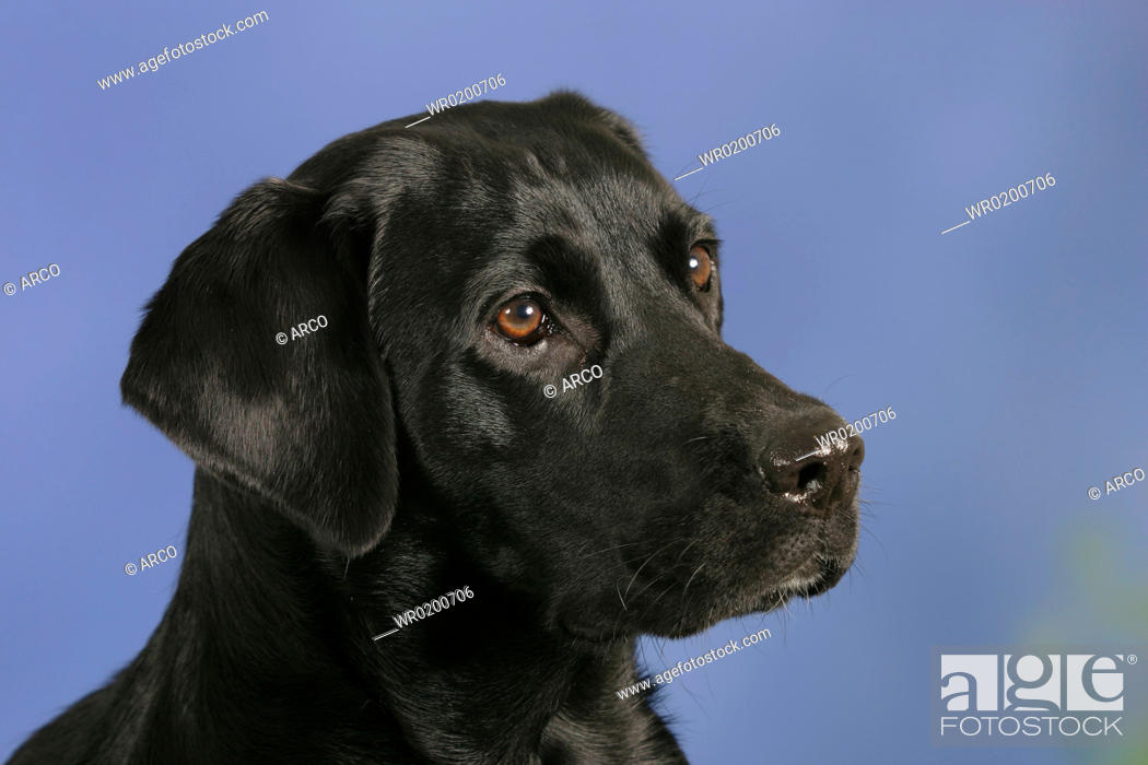Stock Photo: Labrador, Retriever, black.