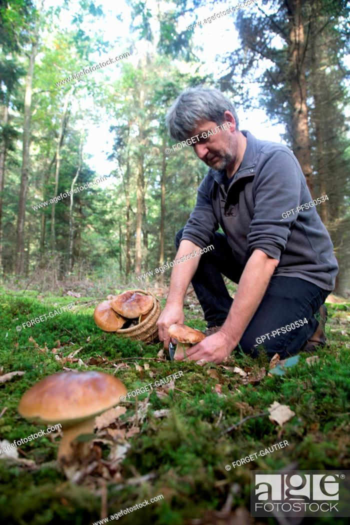 Imagen: GATHERING PORCINI (BOLETUS MUSHROOMS) IN THE FOREST OF CONCHES, RUGLES (27), FRANCE.
