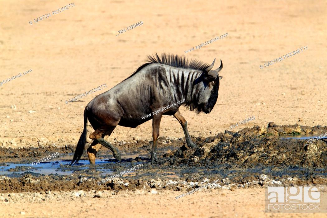 Stock Photo: Blue wildebeest Connochaetes taurinus, in the waterhole, Kgalagadi Transfrontier Park, Kalahari deserrt, South Africa.
