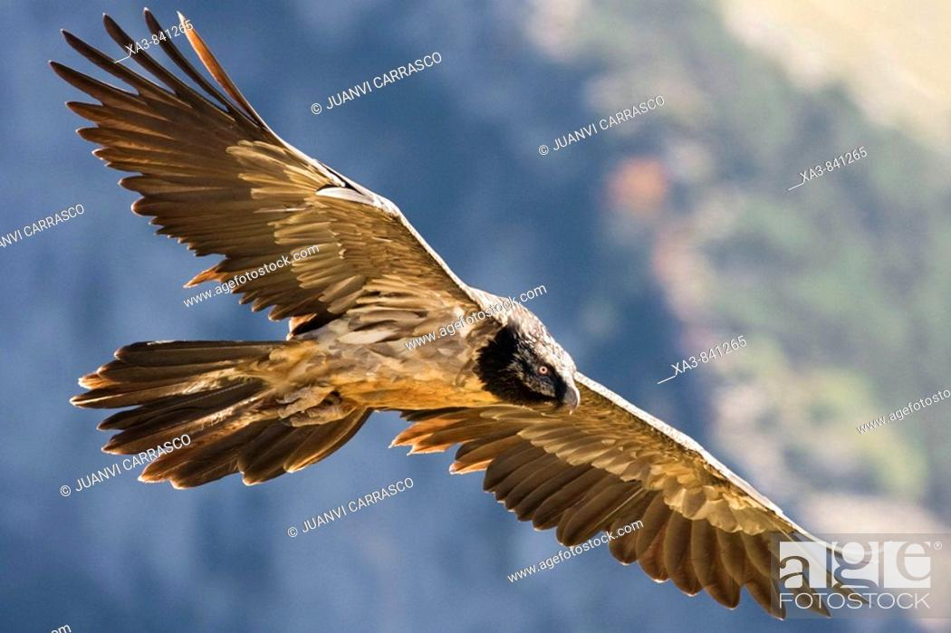 Stock Photo: Lammergeier Gypaetus barbatus in flight at Ordesa and monte perdido national park, Huesca Province, Aragon, Pyrenees, Spain.