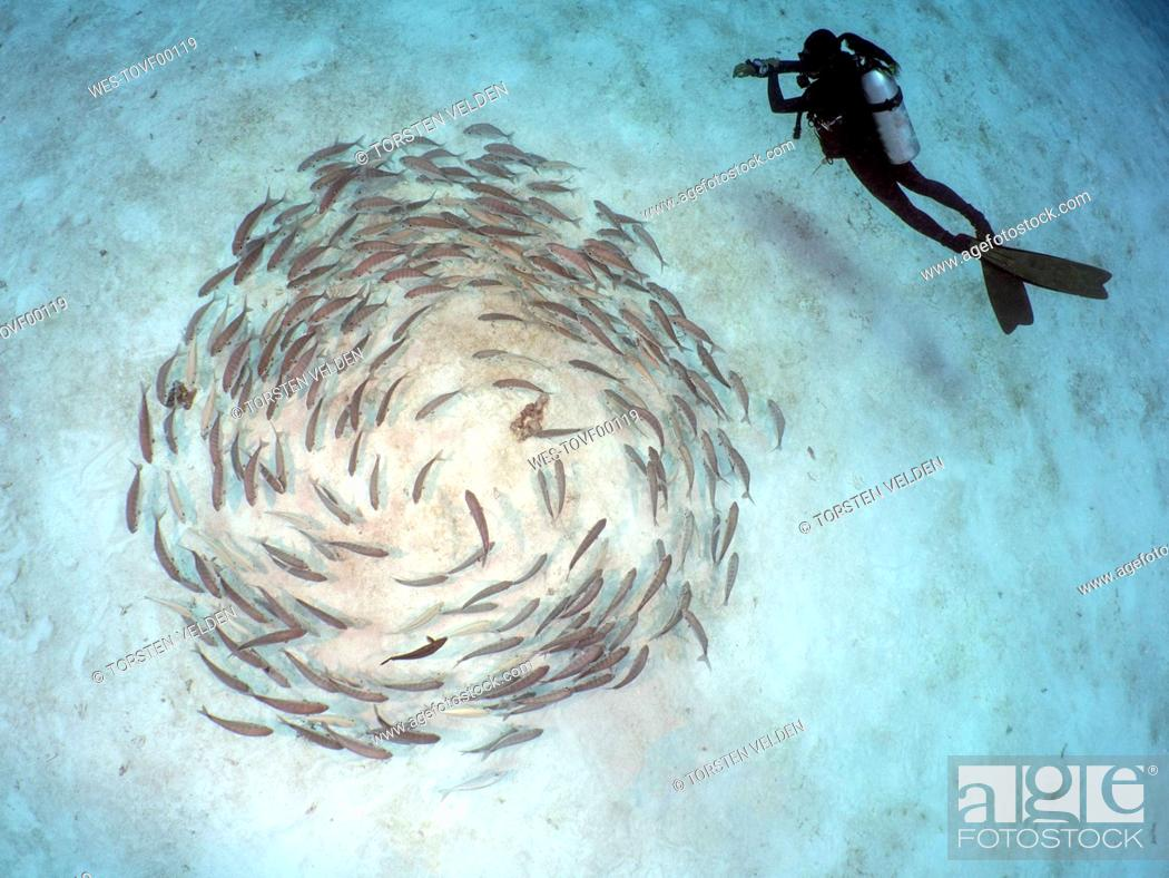 Stock Photo: Palau, Koror, diver with school of fish.