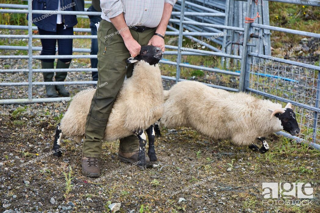 Stock Photo: Sheep handler farmer astride sheep holding it by horns at North Harris Agricultural Show 2019, Tarbert, Isle of Harris, Outer Hebrides, Scotland.