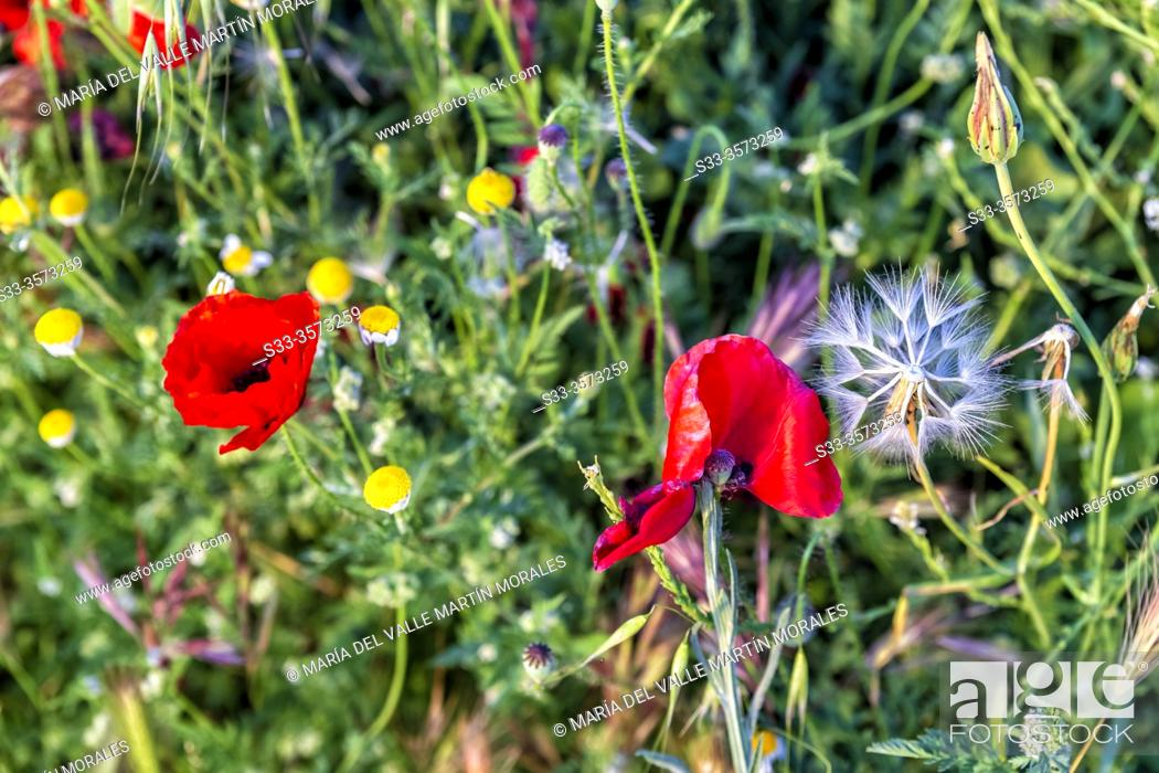 Stock Photo: Poppies, dandelions and daisies in spring time. Pinto. Madrid. Spain. Europe.