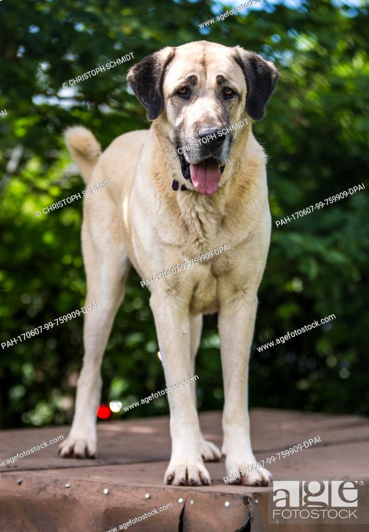 Stock Photo: A Kangal dog in an animal shelter in Stuttgart, Germany, 7 June 2017. A Kangal killed a 72-year-old woman in the city on the 30 May 2017.