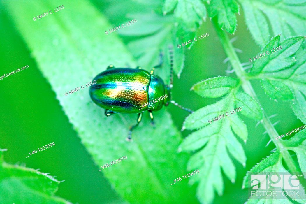 Stock Photo: Chrysolina fastuosa, a tiny rainbow-colored leaf beetle  A pin-head sized beetle searches for dinner on a leaf  Very colorful metallic beetle with blue stripes.