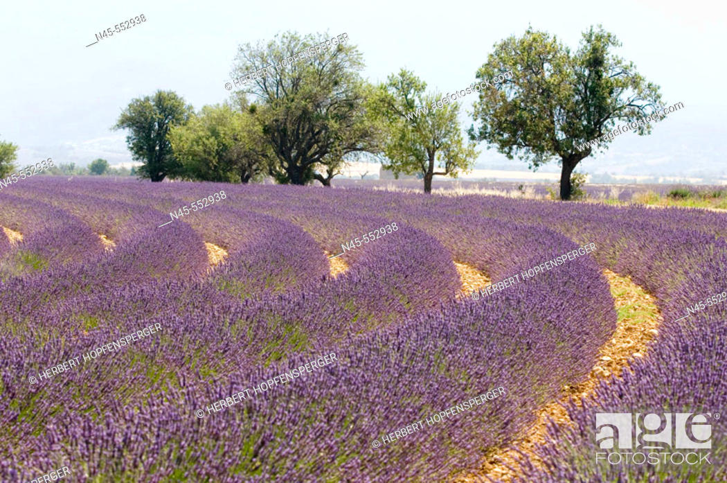 Stock Photo: Blooming Lavender Field (Lavendula angustifolia).