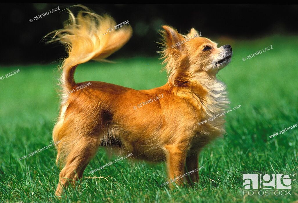Imagen: Chihuahua Dog standing on Grass.