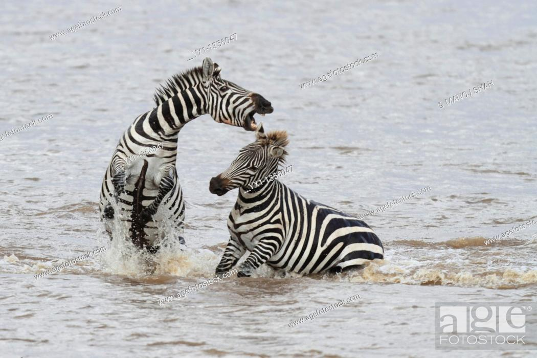 Stock Photo: Zebra stallions usually fight for possession of females  Fighting starts with kicking with hind legs, biting of mane, neck and legs and rearing up and plunging.
