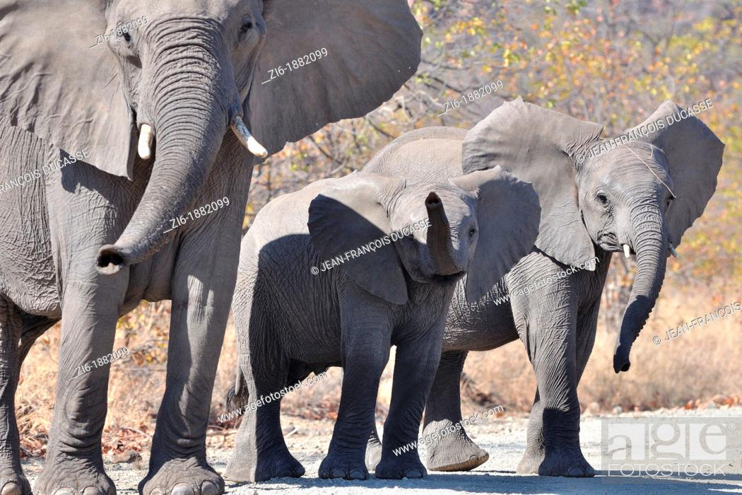 Stock Photo: African Elephants, Loxodonta africana, mother and calves, Kruger National Park, South Africa.