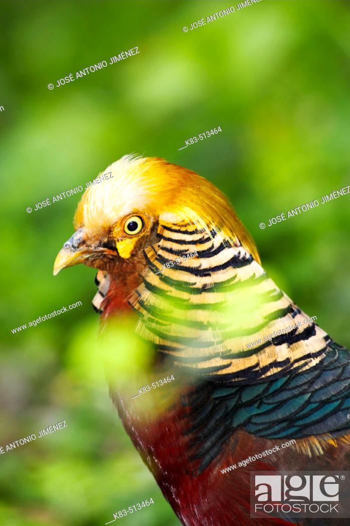 Stock Photo: Golden Pheasant (Chrysolophus pictus).