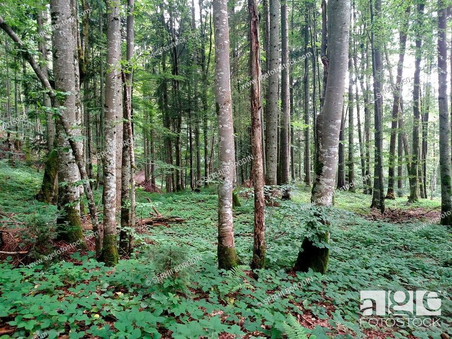 Stock Photo: Beech green forest background with trees at spring season nature.